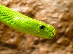 (Dendroaspis angusticeps)eastern green mamba
