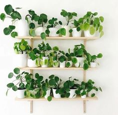 #decorating with #pilea, also known as the pancake plant or the #chinese money plant... this pretty little #houseplant is a great choice for combining aesthetics and health benefits.