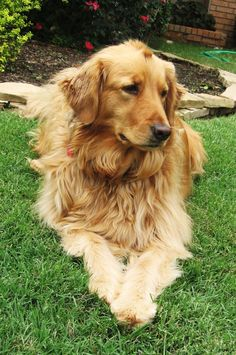 Golden Retriever by daisiesandclovers i Reminds me of my LEO!!!! RIP Leo, love you more than you knew!!