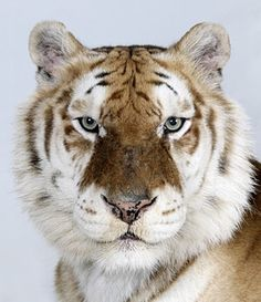 Bengal tigers: Bhara, one of only 30 Golden Tabby Bengal Tigers left in world