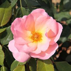 Scoring high marks in independent trials across the country 'Peachy Keen' rose is a sure bet to do well in your garden, too. This pretty shrub rose develops a seemingly endless supply of open, shell-pink flowers with yellow centers. It was bred by Bill Radler, the man who came up with 'Knock Out' rose, so you know 'Peachy Keen' has to be just as disease-resistant and hardy. Name: Rosa 'Peachy Keen' Growing Conditions: full sun Size: 2-3 feet tall and wide Zones: 5-9 Bloom Time…