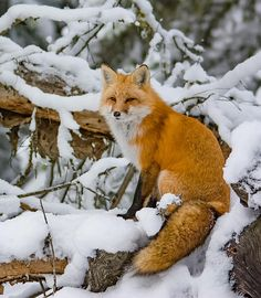 Algonquin Fox by Nicki Williams