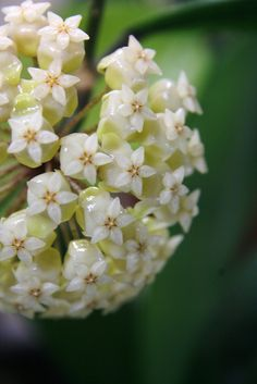 زهرة رائعة نجمة خماسية اسمها هويا !!  found this cool five pointed star shaped flower called Hoya, suddenly fall in love..