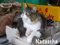 Natascha  - The Cats of Dancing Oaks Nursery - DancingOaks.com #gardening #cats #mainecoon