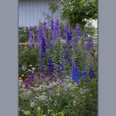 #cottagegardenplants #yndlingsfarger #riddersporer #livetpålandet #hagenpåfredholm #cottagegarden