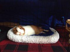 Relaxing guinea pig.