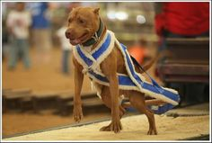 Weight Pull Harness For Pitbulls Go Pitbull Dog Forums Bully