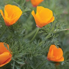 California poppy (<i>Eschscholzia californica</i>) - Best Plants for Rain Gardens - Sunset