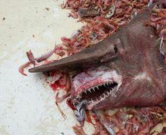Tubarão-Duende: Pescadores encontraram espécie pré-histórica com 5 metros de comprimento | Jornal Ciência