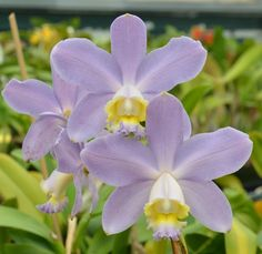 Sunset Valley Orchids - C. loddigesii v. coerulea 'Blue Sky' AM