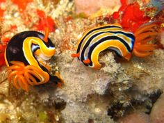 The Sea Slug Forum - Hypselodoris regina