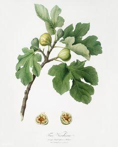 Fig (Ficus carica) from Pomona Italiana (1817 - 1839) by Giorgio Gallesio (1772-1839).