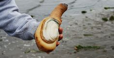 A Rather Bizarre Bivalve Stirs Controversy in the Puget Sound  by Ben Goldfarb: Yale Environment 360