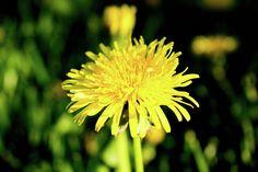 Olga Olay Photograph - Yellow Dandelion by Olga Olay  #OlgaOlayFineArtPhotography #ArtForHome #FineArtPrints