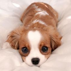 Tiniest-Cavalier-Puppy-Nessa This Adorable Puppy Is So T. - Tiniest-Cavalier-Puppy-Nessa This Adorable Puppy Is So Tiny, It's Hard To - Super Cute Puppies, Baby Animals Super Cute, Cute Baby Dogs, Cute Little Puppies, Cute Dogs And Puppies, Cute Little Animals, Cute Funny Animals, Doggies, Cute Pets