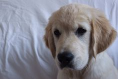 Jack, golden retriever 12 weeks old, welcome in our family