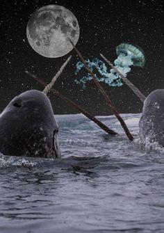 El narval (Monodon monoceros) Esta especie está adaptada a vivir en el Ártico y se alimenta de animales del fondo marino. Carece de aleta dorsal y tiene un tamaño mediano entre los cetáceos, con una longitud promedio en los adultos que oscila ente 4 y 4,5 metros y un peso de entre 1000 y 1600 kg. Posee una dieta que se restringe únicamente a algunos peces y crustáceos, de los cuales se alimenta primordialmente durante los meses de invierno, época en la cual consume un gran volumen de presas