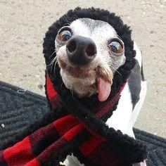 Meet Zappa, The Sid Lookalike Dog With A Floppy Tongue   Bored Panda