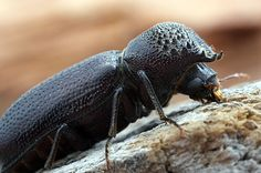 Adult powder post beetles lay eggs in crevices of unfinished wood. The larvae hatch and start tunneling through the wood.