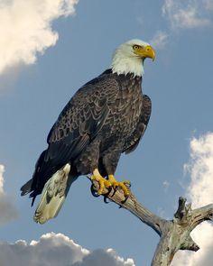 Bald Eagle Art | Bald Eagle by Larry Linton