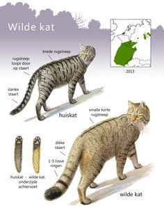 ARK Natuurontwikkeling - Video Wilde kat Limburg