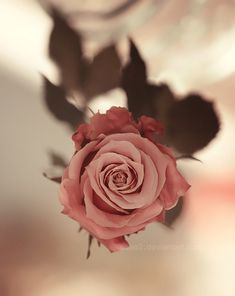Spring rose … by *aoao2