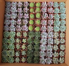 """Some potted succulents in their 2"""" containers, $1.35 - .45 each"""