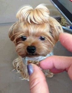 Omg this Dog's ponytail is hilarious