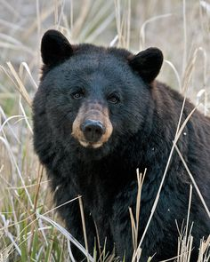 Nothing like a close bear encounter to make you rethink what you're packing and how your camp is set up, and how you travel in the woods. Admittedly I had a quick cry from the stress of being huffed at close range, back at camp...