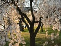 In 1885, Eliza Ruhamah Scidmore, a board member of the National Geographic Society, suggested planting flowering cherry trees along the Potomac, but a donation from Japan didn't arrive until 1909. Unfortunately, those first 2,000 trees had to be destroyed due to disease and pest infestation. The replacement gift of healthy trees was made in 1912.