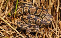 Ball Python: Now I'm never going to the bushes again.