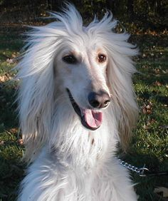 Afghan Hound Willow