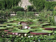 International Waterlily Collection San Angelo, Texas
