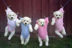 Cute puppies hanging in clothes - follow the pic for more awwww