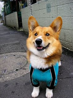 Pembroke Welsh Corgi | Pembroke Welsh Corgi Wallpapers, Pictures & Breed Information