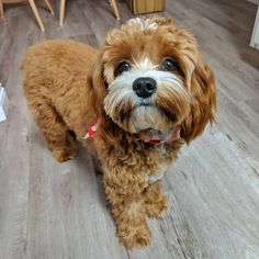 """That face you make when asks, """"Can you smell what The Rock is cooking? I hope it's spawghetti. Oh dear Dog, I hope it's 🍝! Oh Dear, Cavapoo, I Hope, The Rock, Canning, Face, Dogs, How To Make, Animals"""