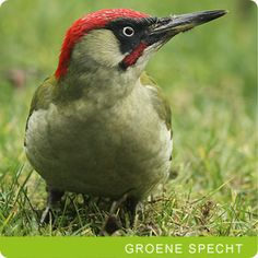 VOGELS Groene specht (picus viridis)