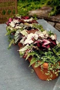 Begonia, Ferns & Creeping Fig | protractedgarden