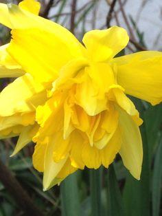 Narciss - Påskelilje - fullt utsprunget :) Vår 2014 - Min hage