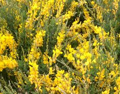 """The Plantagenets took their name from this plant, which in Latin is """"planta genista"""".Between 1154 and 1485, a period of 331 years, England was ruledby one family. The Plantagenets, who were descended from one man, Geoffrey of Anjou whose badge was the broom plant. """"planta genista""""."""