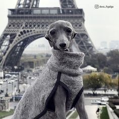 Whippets are good for both homes with yards and apartments. Beware, they think they are royal and you are the servant, but you'll never get more love. Italian Greyhound Puppies, Whippet Puppies, Dogs And Puppies, Whippets, Love Pet, I Love Dogs, Cute Dogs, Lurcher, Dog Life