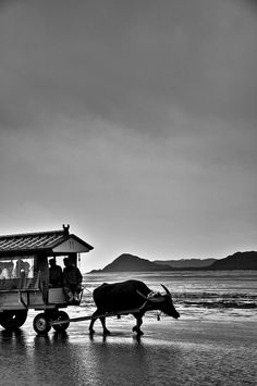 A water buffalo pulls a cart of people as it crosses during low tide between Yubu Island and Iriomote Island in Okinawa, Japan