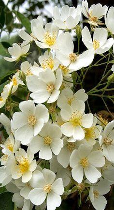 Rose Gardening Rosa filipes 'Kiftsgate' - a large rambling rose Growing Flowers, Pretty Flowers, White Flowers, Planting Flowers, Single Flowers, Moon Garden, Dream Garden, Beautiful Roses, Beautiful Gardens
