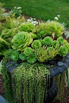 Urn with hens and chicks and string of pearls hanging over edge