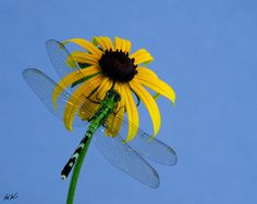 dragonfly with sunflower