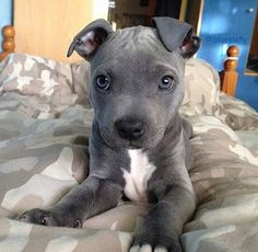 Sweet Lil' Pit Bull Puppy...I need one of these!