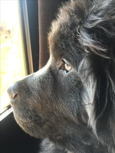 Old Grey Newfoundland Huge Dogs, I Love Dogs, Terra Nova, Newfoundland Puppies, Dogs And Puppies, Cute Puppies, Doggies, Super Cute Animals, Large Dog Breeds