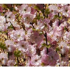Prunus triloba - Mandelbäumchen / Mandelbaum jetzt günstig in Ihrem MEIN SCHÖNER GARTEN - Gartencenter schnell und bequem online bestellen.
