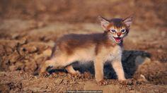 Wild cat or pet moggy? (Credit: Adriano Bacchella/naturepl.com)