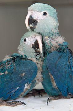 cute Spix's macaw chicks